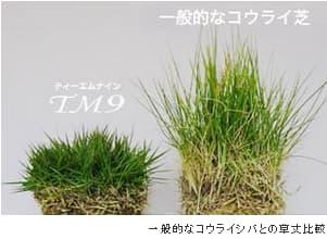 TM9と高麗芝を比較している写真